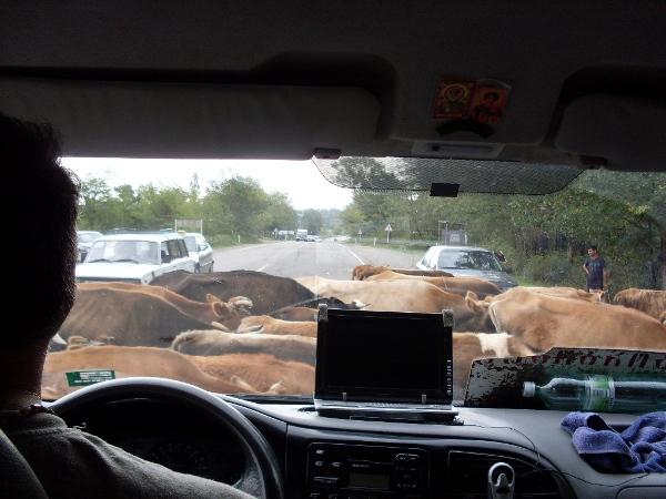 Powrót z Ureki do Tbilisi. Pomimo, że to główna droga kraju, krowy specjalnie się tym nie przejmowały